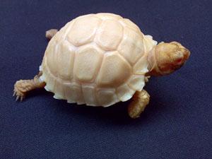 Albino Sulcata