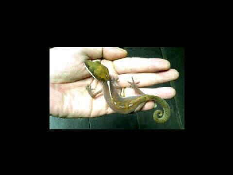 Cat Eye Gecko