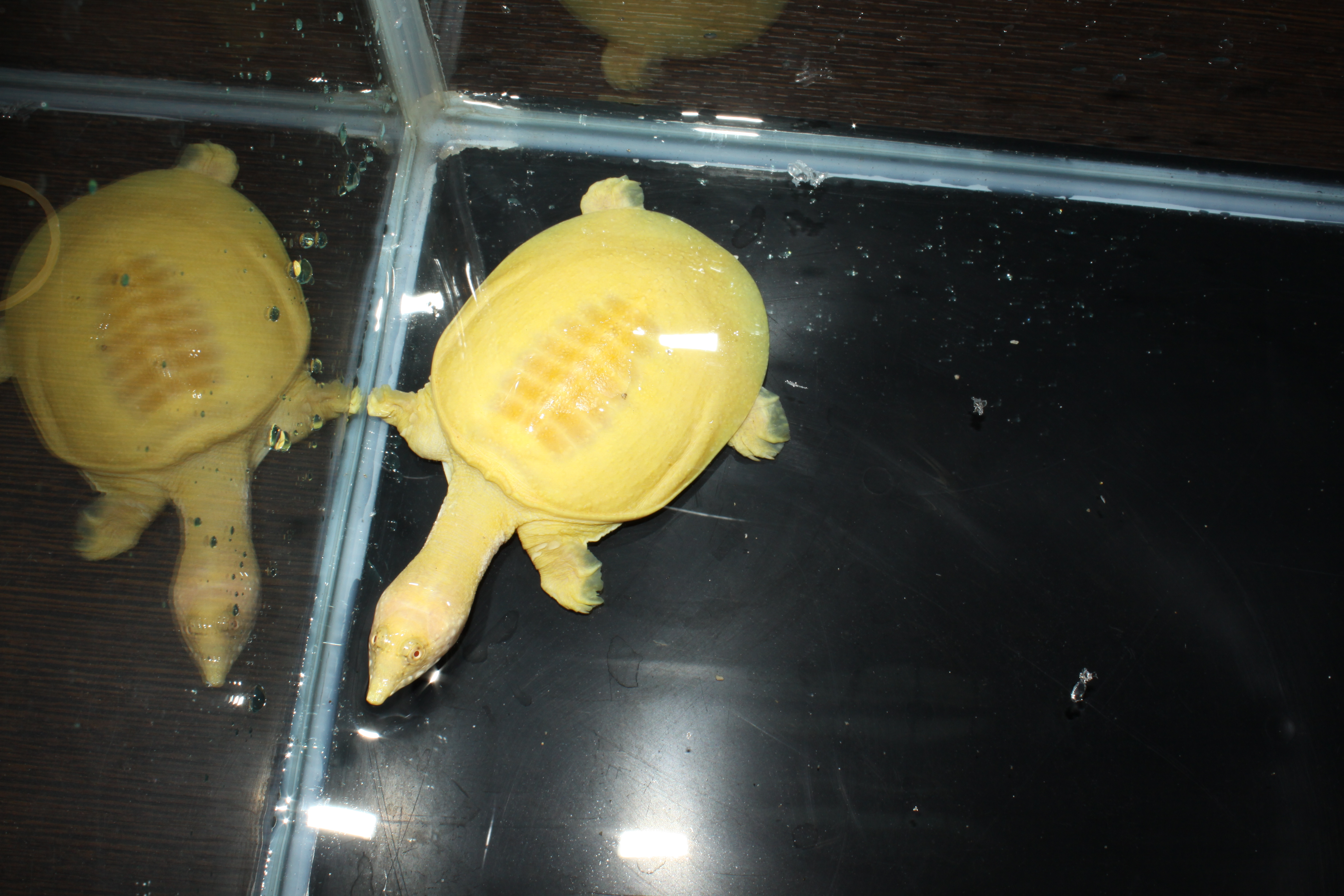 Albino Chinese Softshell