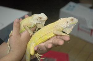 Albinoiguana