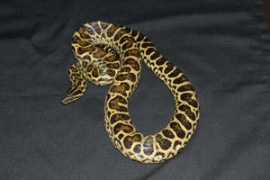 Yellow Anacond
