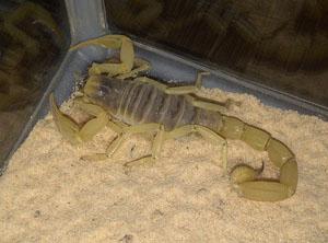 Arizona Dessert Scorpion